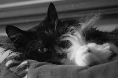 Sleepy Kitty (134/365) (lacygentlywaftingcurtains) Tags: 365 cat lucy lulu fluffy ruff tuxedo longhaired cute blanket