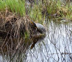 Blanding's Turtle (iangraham212) Tags: turtle
