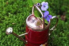 "Violets For Your Furs - Macro Monday - ""Copper"" (not beck) Tags: macromonday macro monday copper moss wateringcan violet miniature purple green flower foliage"