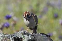 Lark Sparrow--Chondestes grammacus (Polioptila caerulea) Tags: larksparrow chondestesgrammacus chondestes sparrow tablemountain oroville buttecounty california