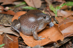 Glyphoglossus molossus, Blunt-headed burrowing frog - Mueang Loei District, Loei Province (Rushen!) Tags: bluntheadedburrowingfrog glyphoglossus glyphoglossusmolossus loeiprovince mueangloeidistrict amphibia frog