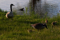 The Whole Family (cameron.tucker) Tags: gosling baby babygoose goose geese