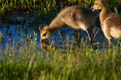 Gosling Drinking with a Friend (cameron.tucker) Tags: gosling baby babygoose goose geese