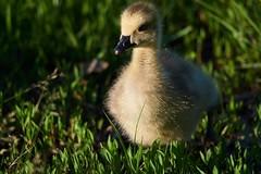 Gosling8 (cameron.tucker) Tags: gosling baby babygoose goose geese