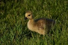 Gosling10 (cameron.tucker) Tags: gosling baby babygoose goose geese