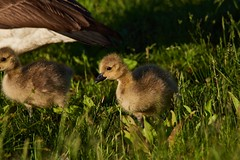 Gosling with Friend and Mom (cameron.tucker) Tags: gosling baby babygoose goose geese
