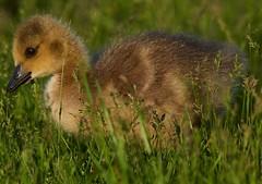 Gosling14 (cameron.tucker) Tags: gosling baby babygoose goose geese
