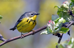 Magnolia Warbler (Arvo Poolar) Tags: outdoors ontario canada scarborough scarboroughbluffs arvopoolar nature naturallight natural naturephotography nikond500 bird
