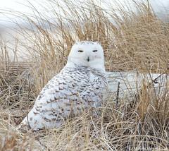 Cloudy owl (v4vodka) Tags: bird birding birdwatching animal nature wildife owl snowyowl sowa sowka predator raptor buboscandiacus sowasniezna puchaczsniezny nycteascandiaca schneeeule eule 雪鸮