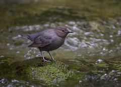 The Little Dipper (Kathy Macpherson Baca) Tags: bird americandipper streams aves swim dive earth mayflylarvae planet rivers oregon mounthood forest rapids world preserve diver