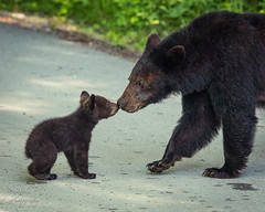 Hi Mommy! (Michael Allen Siebold (Getty Images Contributor)) Tags: nature green naturephotography animals outside eos bear cub cute nose nuzzle