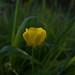 Meadow Buttercup (Ranunculus acris) - Duryard Valley Park, Exeter, Devon - May 2019