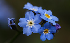 Close To The Blues ... (AnyMotion) Tags: woodforgetmenot waldvergissmeinnicht myosotissylvatica forgetmenot vergissmeinnicht myosotis blossom blütebokeh plants pflanzen 2019 anymotion nature natur blumen floral flowers frankfurt colours colors farben blue blau 6d canoneos6d spring frühling primavera printemps macro makro makroaufnahmen