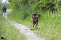 Chemin de promenade (Philippe Bélaz) Tags: ooligan ratierdeprague balades brun chemins chiens chocolat courir courses printemps promenade vert