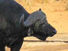 Cape Baffalo / Buffel (Pixi2011) Tags: buffalo wildlifeafrica southafrica africa wildanimals krugernationalpark animals wildlife