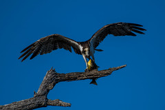 Osprey Fish Dinner, Part 1 (Daren Grilley) Tags: catch dinner prey osprey fish marsh orange county los angeles huntington beach california wetland sea hawk raptor nikon d850 200500