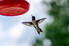 DSC_3671 (Kasuyin) Tags: hummingbird flight wings bokeh dof depthoffield
