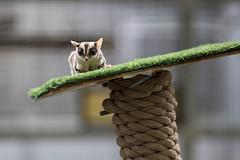 Winkin the Sugar Glider. (LisaDiazPhotos) Tags: cheetah behind scenes wildlife workshop winkin sugar glider animal ambassador lisadiazphotos sandiegozoo sandiegozooglobal sandiegozoosafaripark sdzsafaripark sdzoo sdzsp