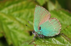 Green Hairstreak- Cerne Abbas Dorset-160519 (1) (Ann Collier Wildlife & General Photographer) Tags: cerneabbas dorset greenhairstreak callophrysrubi butterflies butterfliesmothsandcaterpillars insects britishwildlife britishinsects macro lepidoptera