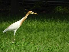Cattle Egret 黃頭鷺 (kau10082) Tags: birds taiwan taipei gaudau nikon b700