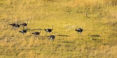 Ostriches (Jennie Stock) Tags: commonostrich helicoptertrip maun landscape struthiocamelus okavango aerial