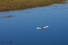Stork in flight (Jennie Stock) Tags: ephippiorhynchussenegalensis helicoptertrip maun landscape saddlebilledstork okavango aerial