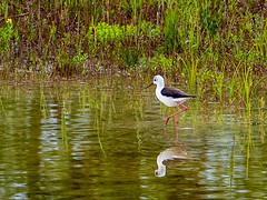 Stelzenläufer (oonaolivia) Tags: stelzenläufer blackwingedstilt stilt vögel bird birdwatching nature greifensee schweiz switzerland