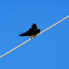 Χελιδονι DSC08454 (omirou56) Tags: 11 sonydschx60v χελιδονι πουλι ουρανοσ ελλαδα swallow bird sky