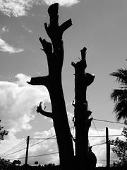DSC08445 (omirou56) Tags: 43ratio sonydschx60v σιλουετεσ ασπρομαυρο ασπρομαυρη ουρανοσ δεντρα ευκαλυπτοσ συννεφα silhouette tree monochromo blackwhite blackandwhite bw sky clouds