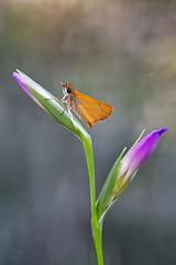 _4176830 (Masaco 76) Tags: macro macronature macromondays mundomacro nature naturaleza ngc natur nikon wildlife campo bokeh butterfly