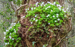 Wood sorrel, Rhydymwyn area, N/Wales, UK. 2016. (Phlips photos) Tags: naturesdetail wales woodsorrel woods rhydymwynarea trees wildflowers green 2016 woodland northwales canon24105mmlens