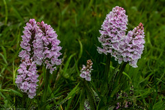 Heath Spotted Orchid (Dactylorhiza maculata) (BiteYourBum.Com Photography) Tags: dawnandjim dawnjim biteyourbum biteyourbumcom copyright©2019biteyourbumcom copyright©biteyourbumcom allrightsreserved uk unitedkingdom gb greatbritain england canoneos7d canonefs60mmf28macrousm canonmacrotwinlitemt26exrt apple imac5k lightroom6 ipadair appleipadair camranger zerenestacker manfrotto055cxpro3tripod manfrotto804rc2pantilthead loweproprorunner350aw sussex westsussex southdowns southdownsnationalpark haslemere windingmeadow windingmeadownt orchid orchids wildorchids nativeorchids orchidaceae heathspotted dactylorhiza maculata heathspottedorchid dactylorhizamaculata