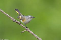 CA3I1696-American Redstart (tfells) Tags: americanredstart warbler bird nature wildlife nj baldpatemountain mercer setophagaruticilla newjersey unitedstates