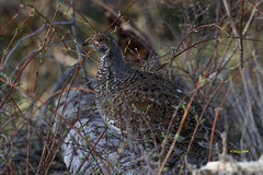 IMG_0945 female dusky grouse (starc283) Tags: starc283 bird birding birds nature natures finest watcher wildlife lek mating flickr flicker forest mountains mountain duskygrouse grouse femaleduskygrouse dusky