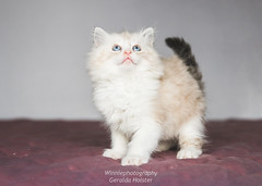 Ragamuffin Cat (winniefotografie) Tags: blauw kitten cat baby kat poes lief cute ragdoll studio canon ragamuffin