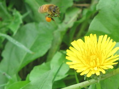 Cool Bee is Cool (Tilly Collins) Tags: bee dandelion backyard