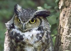 Great horned owl  Maymont park Richmond Va (watts photos1) Tags: great horned owl maymont park richmond va bird birds raptor raptors rva virginia