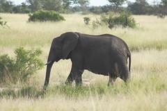 African elephant Big5/5 (Meena Madhrani) Tags: kruger krugernationalpark southafrica big5 aricanelephant elephant
