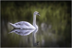 Reflections (Charles Connor) Tags: muteswans swans birdphotography largebirds waterbirds nature naturephotography reflections canon7dmk11 canonef100400mmmk2lens