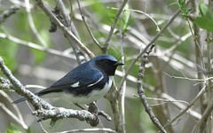 Black-throated Blue Warbler (hd.niel) Tags: blackthroatedbluewarbler warblers migration birds songbirds kingstonontario nature photography wildlife outdoor photos habitat