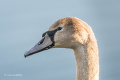 Cygnet 501_7336.jpg (Mobile Lynn) Tags: wildfowl portrait muteswan birds swan nature anseriformes bird cygnusolor fauna wildlife estuaries freshwater lagoons lakes marshes ponds waterfowl webbedfeet hurst england unitedkingdom