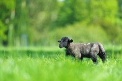 wimpole lamb (Paul Wrights Reserved) Tags: lamb lambs cute farm bokeh animal animals animalfarm cattle young baby