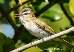 Singing vireo (Lindell Dillon) Tags: redeyedvireo neotropical birds birding nature oklahoma crosstimbers wildoklaohoma
