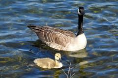Seattle, Lake Union, Canadian Geese and goslings DSCN4154 (ianw1951) Tags: birds geese seattle unitedstates usa washingtonstate