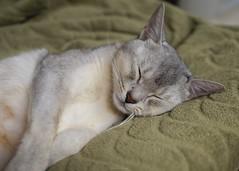 20190328_13_LR (enno7898) Tags: panasonic lumix lumixg9 dcg9 olympus mzuiko cat abyssinian pet