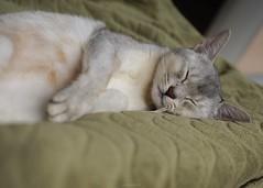 20190328_08_LR (enno7898) Tags: panasonic lumix lumixg9 dcg9 olympus mzuiko cat abyssinian pet