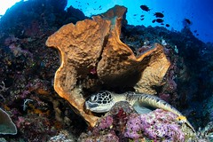 resting place (Lea's UW Photography) Tags: lealee canon5dmk3 subal canonef815mm fisheye wideangle bunaken underwater turtle