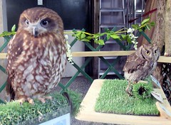 Toddy and Chester (billnbenj) Tags: barrow cumbria owl tawnyowl westernscreechowl raptor birdofprey