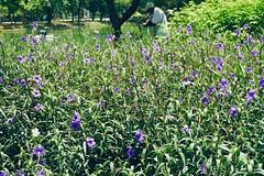 park life (bloom) (Fille.de.Lumière) Tags: purple purpleandgreen flowers parklife lumphinipark bangkok purpleflowers thailand bloom inbloom warmphotographs warm sundaywalks bushes crakerplant