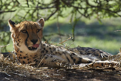 Cheetah watching (gerryhk) Tags: werribeeopenrangezoo werribeezoo werribee melbourne victoria australia autumn cats bigcats cheetah watching teeth tongue lickinglips
